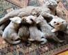 Britske  koťatka s PP-kočičky